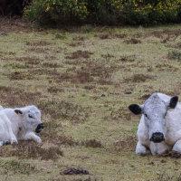 Cows-8569