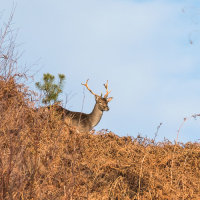 Fallow Deer-4307