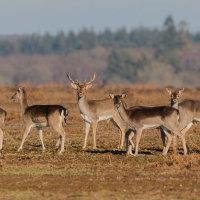 Fallow Deer-6959