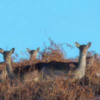 Fallow Deer 3073