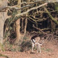 Fallow Deer Burley-3387