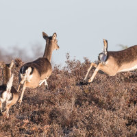 Fallow Deer on the move CB4A1183