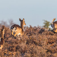 Fallow Deer on the move CB4A1185