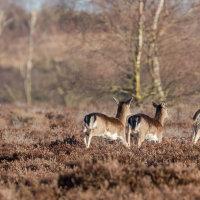 Fallow Deer on the run-4216