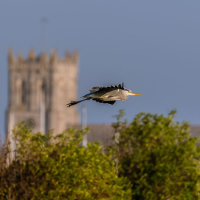 Heron Flying past Christchurch Priory--2