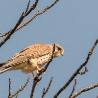 Kestrel in tree 1 -3611