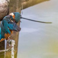 Kingfisher-2631