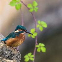 Kingfisher-2729
