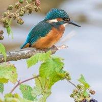 Kingfisher Portrait-2530