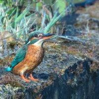 Kingfisher on wall 1-5667