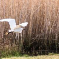 Little Egret-8301