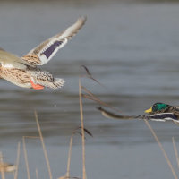 Mallards in Flight-4664