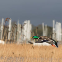 Mallards in Flight -4668