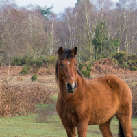 New Forest Pony-6837