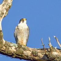 Peregrine Falcon --2