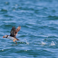 Puffin Flying 1-0422