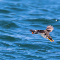 Puffin Flying 2-0424