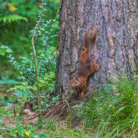 Red Squirrel-1078