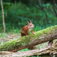 Red Squirrel-1114