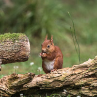 Red Squirrel-1171