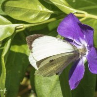 Small White Butterfly-6550