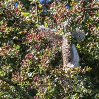 Squirrel eating berries2016