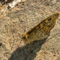 Wall Brown Butterfly -6539