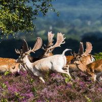White Fallow Buck & Herd 1 untitled-