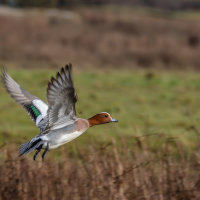 Wigeon in flight-4616