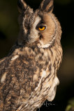 Long Eared Owl - Asio Otus
