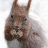 Red Squirrel, Argyllshire, Scotland.