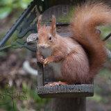 Scottish Red Squirrel