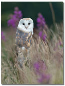 Barn owl in grass