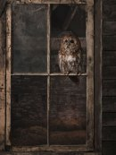 Tawny Owl In Window