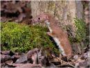 Weasel 4