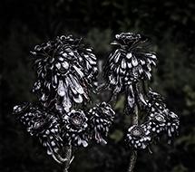 Black Artichoke