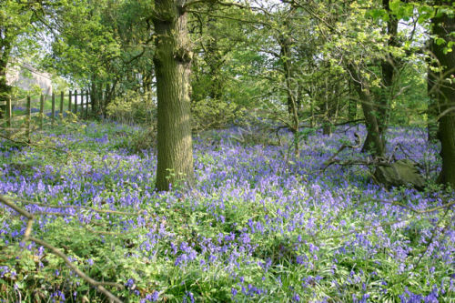 Bluebells in the Wood - Study 1