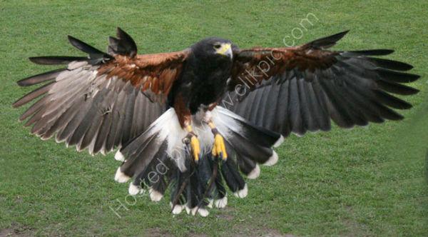 Harris Hawk (2)
