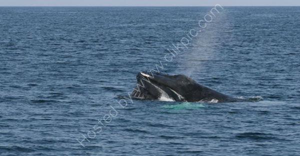 Humpback Whale (3)