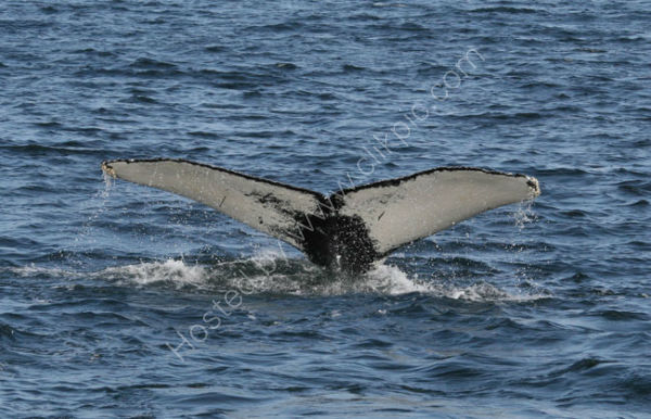 Humpback Whale (2)