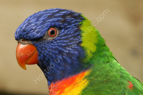 Thick-Billed Parrot
