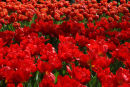 Dutch Tulips red