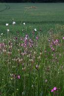 Wild flowers in field margin