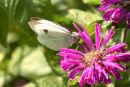 Cabbage White on Bergamot Flower