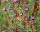 Painted Lady on Wild Flowers