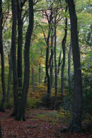 Beech Wood in the Chilterns