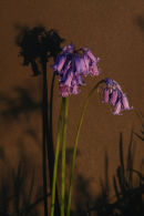 Bluebells and Shaddows