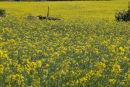 Tractor in a Field of Oilseed Rape