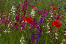 Fairy Toadflax and Poppies