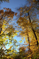 Autumn Beech Trees 2